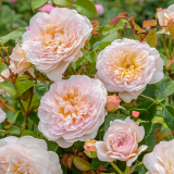 Woodford David Austin® Roses event - Friday 28th June 2019