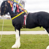 A Shire Horse Experience