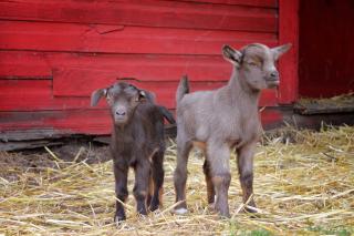 Barn Babies