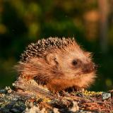 ODL Talk: Our Hedgehog Habitats