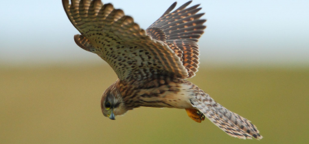 Donate to the British Raptors programme