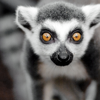 Lemur Liaison 8+ (admits 1 child (8-15) & 1 accompanying adult)