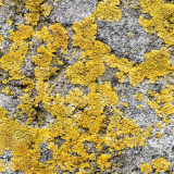 ODL Walk & Talk: Liking the Lichen: Introduction to Lichen at Elfield Nature Reserve