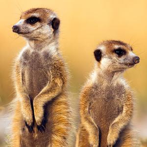 Meet the Meerkat & Friends