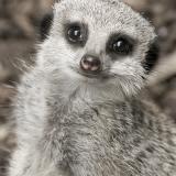 Meet the Meerkats 16+ (admits 2 adults)