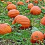 Halloween themed Maze with pumpkin picking