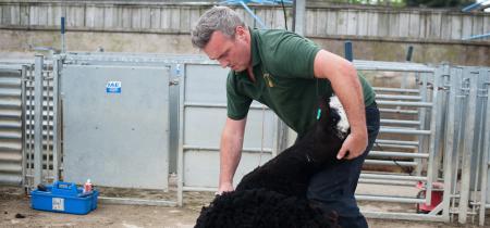 Sheep Shearing Festival: 27th May to 4th June 2017