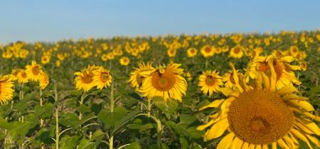 Umberslade Estate Walk & Sunflower Field