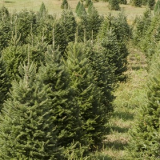 Christmas Trees for Click and Collect