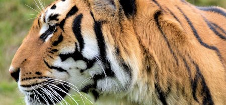 Book Now! Tiger Experience @ Sandwich Wildlife Park