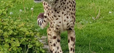 Book Now! Cheetah Experience @ Sandwich Wildlife Park