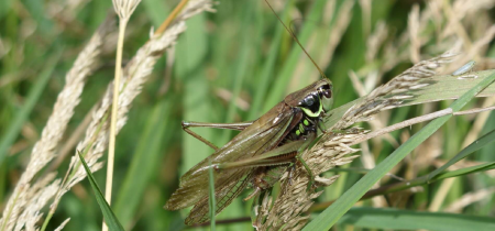 Talk: Can you tell your crickets from your grasshoppers?