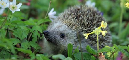Talk: Our Hedgehog Habitats