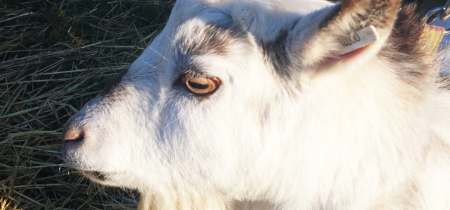 Goat Keeper Experience for up to 4 people