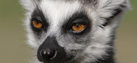 Book Now! Lemur Experience @ Sandwich Wildlife Park