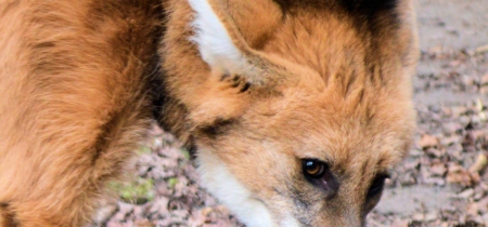 Book Now! Maned Wolf Experience @ Sandwich Wildlife Park