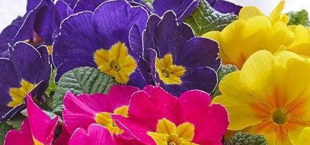 Plant your Own Mother's Day Primrose Basket