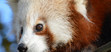 Red Panda Experience - Book Now!