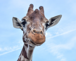 Gift Giraffe Encounter