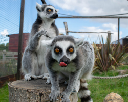 Double Primate and Meerkat Experience Gift Voucher
