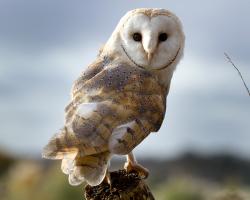 Adopt Charlie the Barn Owl