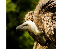 Adopt Cassius the African White-backed Vulture