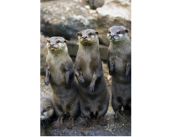 Adopt a Romp, Bevy or Raft of Asian Shortclaw Otters for a Child (Under 16)