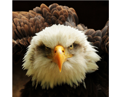 Adopt Danebury the Bald Eagle