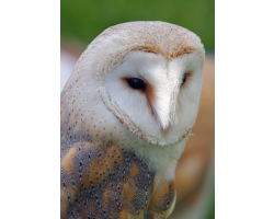 Adopt a Barn Owl for a Child (Under 16)