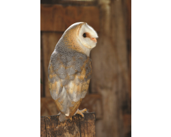 Adopt our Common Barn Owl for 1 year