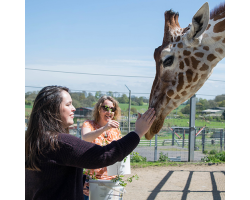 Gift Giraffe Encounter