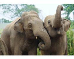 Elephant Adoption Pack