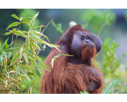 Orangutan Adoption Pack