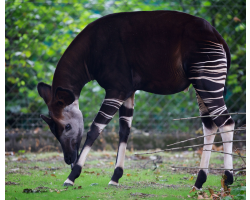 Okapi Adoption Pack Image