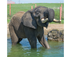 Elephant Adoption