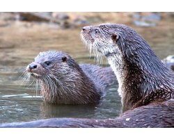 Adopt a Romp, Bevy or Raft of European Otters for a Child (Under 16)