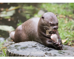 Adopt a Romp, Bevy or Raft of Giant Otters for an Adult (Over 16)