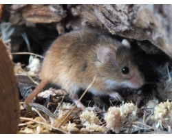 Adopt a Colony of Harvest Mice for a Child (Under 16)