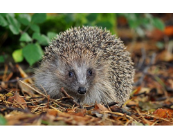 Adopt an Array, a Usage or a Prickle of Hedgehogs for a Child (Under 16)