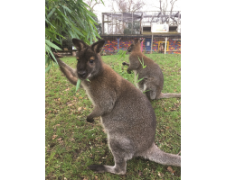 Adopt our Court of Red-Necked Wallabies for 1 year