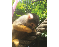 Adopt our Troop Bolivian Squirrel Monkeys for 1 year