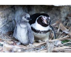 Penguin  Adoption Pack Image