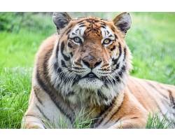 Family Tiger Adoption
