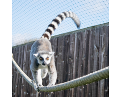 Lemur Adoption Image