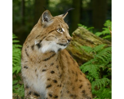 Adopt a Chain of Lynx for a Child (Under 16)