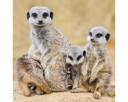 Meerkat Adoption Image
