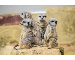 Family Meerkat Adoption Image
