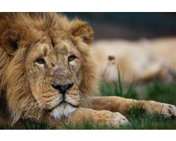 Lion Adoption Pack