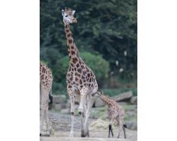 Giraffe Adoption Pack