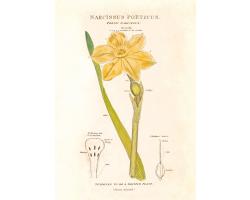 Narcissus Poeticus greetings card